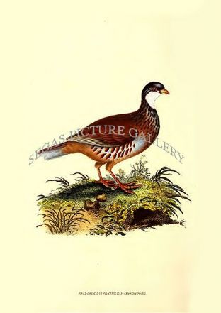 RED-LEGGED PARTRIDGE - Perdix Rufa